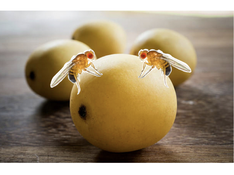 fruit flies on marula fruit